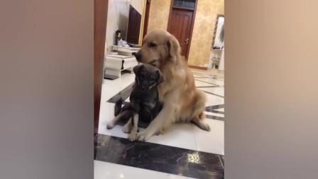 小狗拆家,主人要揍小狗,金毛护着小狗不准主人打