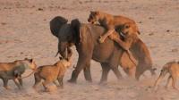 实拍14只狮子围攻小象