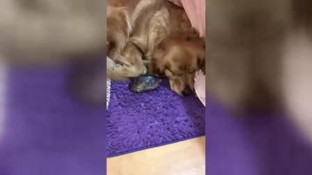 一只爱金毛的乌龟,金毛在哪,乌龟就要去找,就像天生一对!