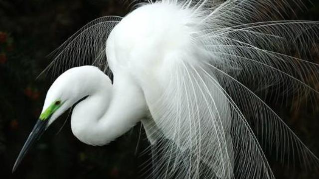 【鹭世界】苍鹭携群鸟首现黄河生存图鉴