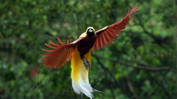 世界上最美丽的鸟,比孔雀更漂亮,声音却像乌鸦叫!