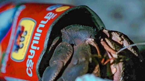 狡猾的寄居蟹住在了罐头盒子里 - BBC地球